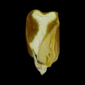 querschnitt-cross-section-maize-maiskorn-corn-endosperm-nährgewebe